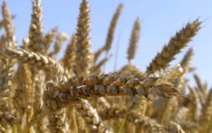 Озима пшениця НИВА ОДЕСЬКА екстрасильна
