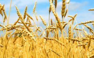 Озима пшениця ЛІРА ОДЕСЬКА