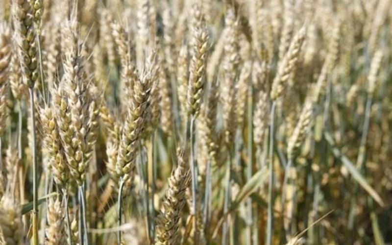 Озима пшениця НОВОСМУГЛЯНКА