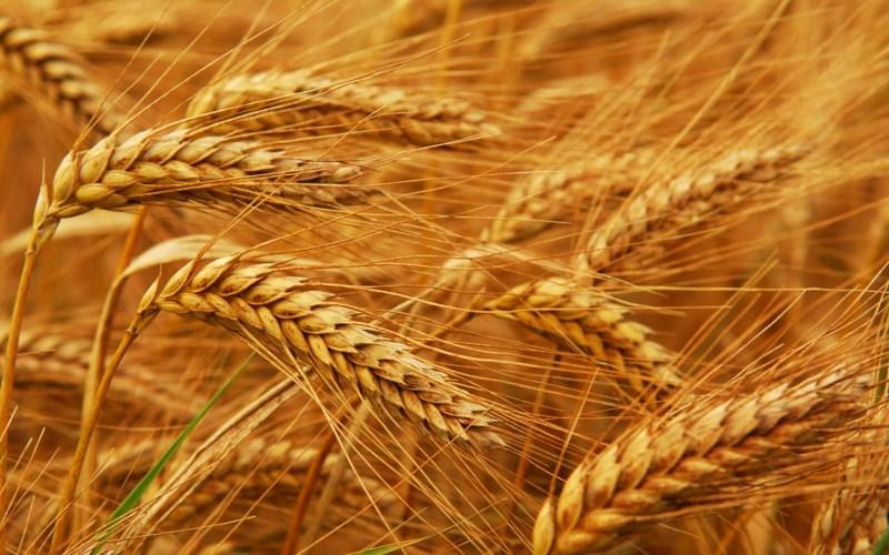 Жито озиме сорт СТОІР