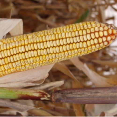 Гібрид кукурудзи «Кредит МВ»
