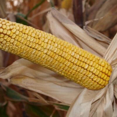 Гібрид кукурудзи «Донор МВ»