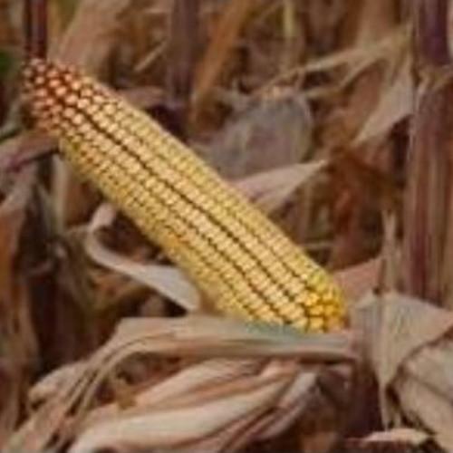 Гібрид кукурудзи «Варта МВ»