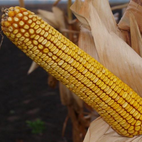 Гібрид кукурудзи «Світанок МВ»