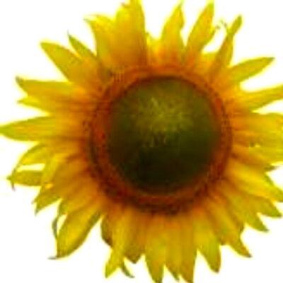 Гібрид соняшника «Стаєр»