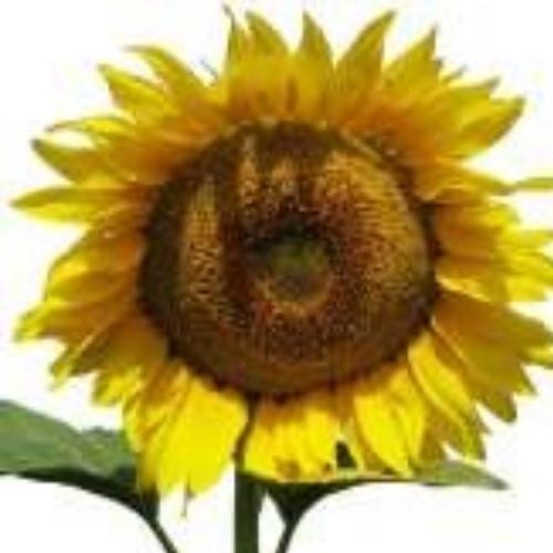 Гібрид соняшника «Драйв»
