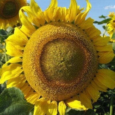 Гібрид соняшника «Златсон»