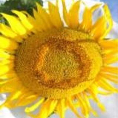 Гібрид соняшника «Равелін»