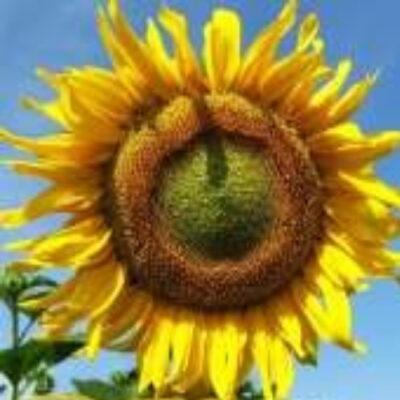 Гібрид соняшника «Гусляр»