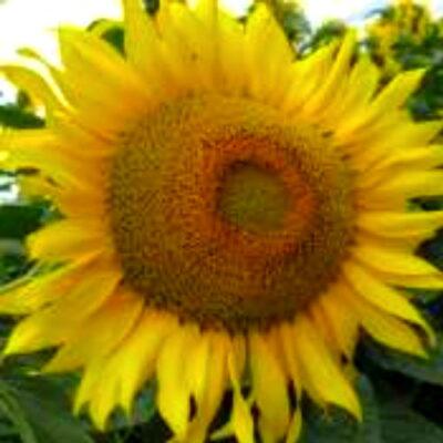 Гібрид соняшника «Славсон»